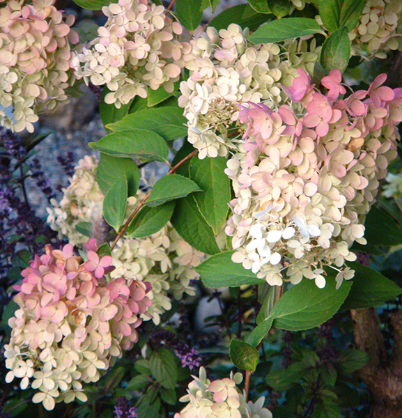 "Гортензия метельчатая ""Angels Blush""/Hydrangea paniculata ""Angels Blush"""