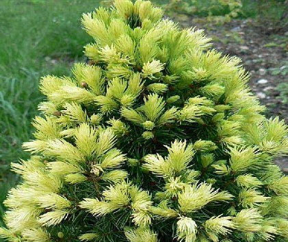 "Ель сизая ""Рэйнбоуз Энд""/Picea glauca 'Rainbow's End'"